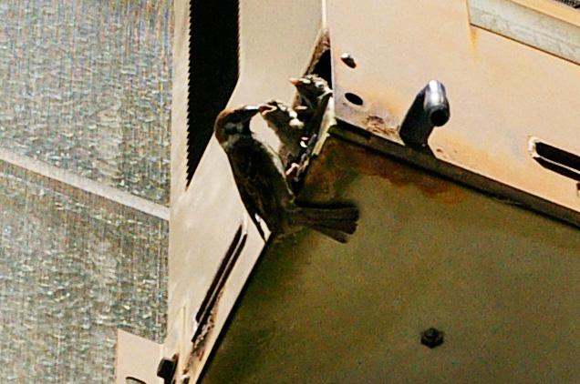 スズメの親鳥と巣箱のヒナ。使われなくなった送風機に営巣